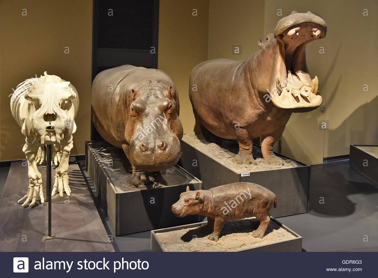 Hippopotamus (Hippopotamus amphibius) models exhibits in Museum of Natural History Berlin Germany Europe - Stock Image