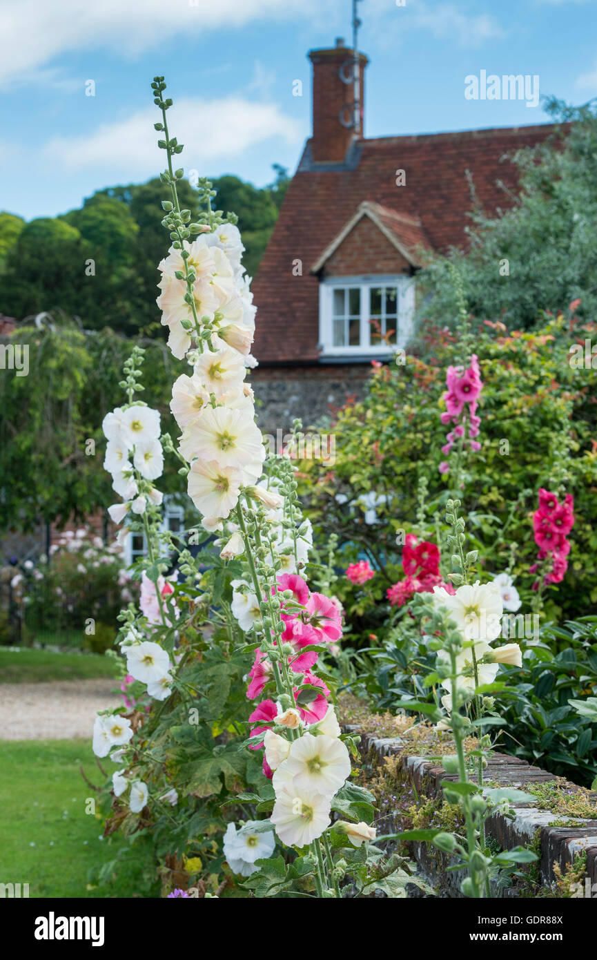 Hollyhocks in a Cottage garden, Hambleden, Buckinghamshire, England - Stock Image