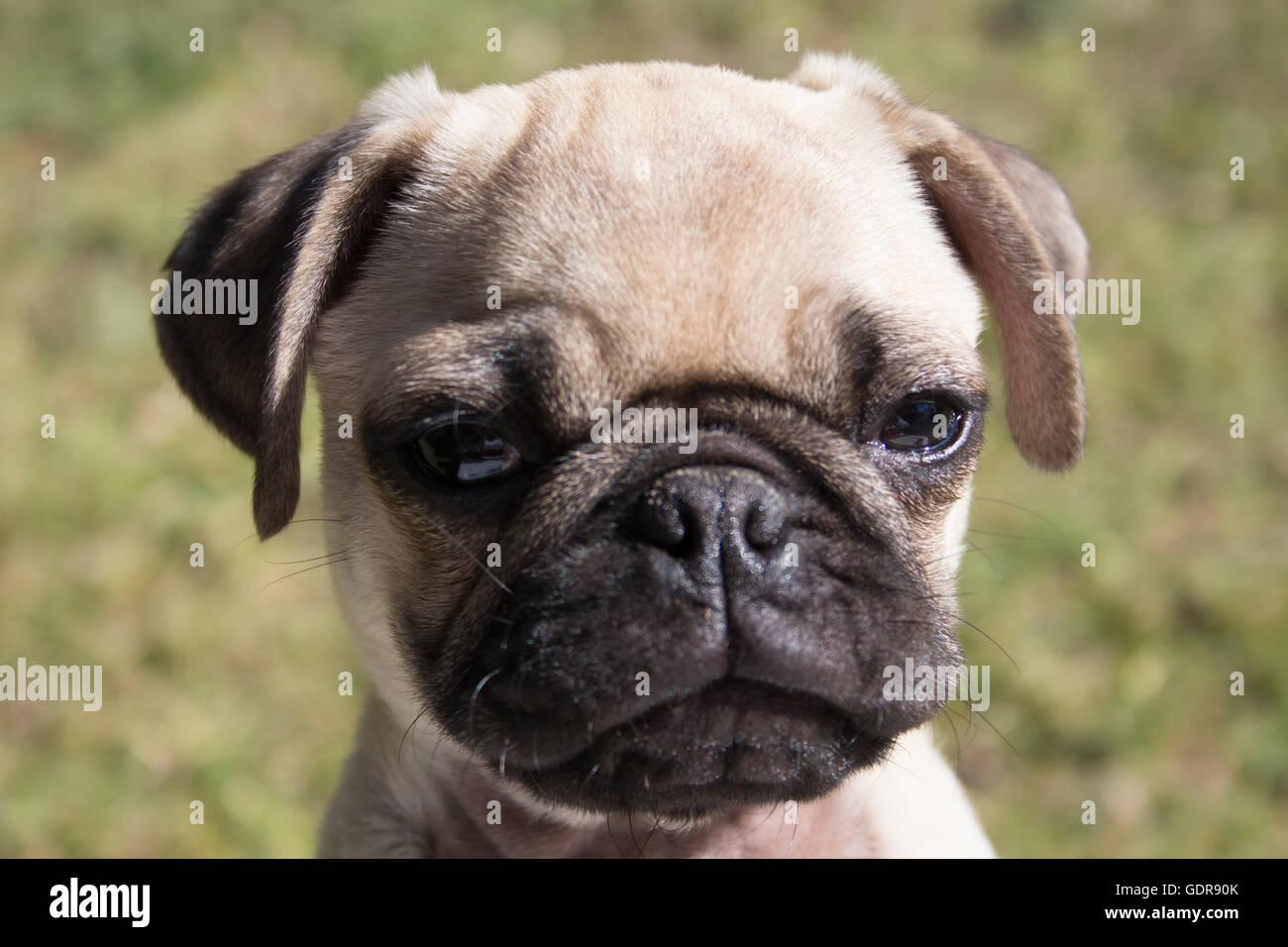 Handsome pug puppy. - Stock Image
