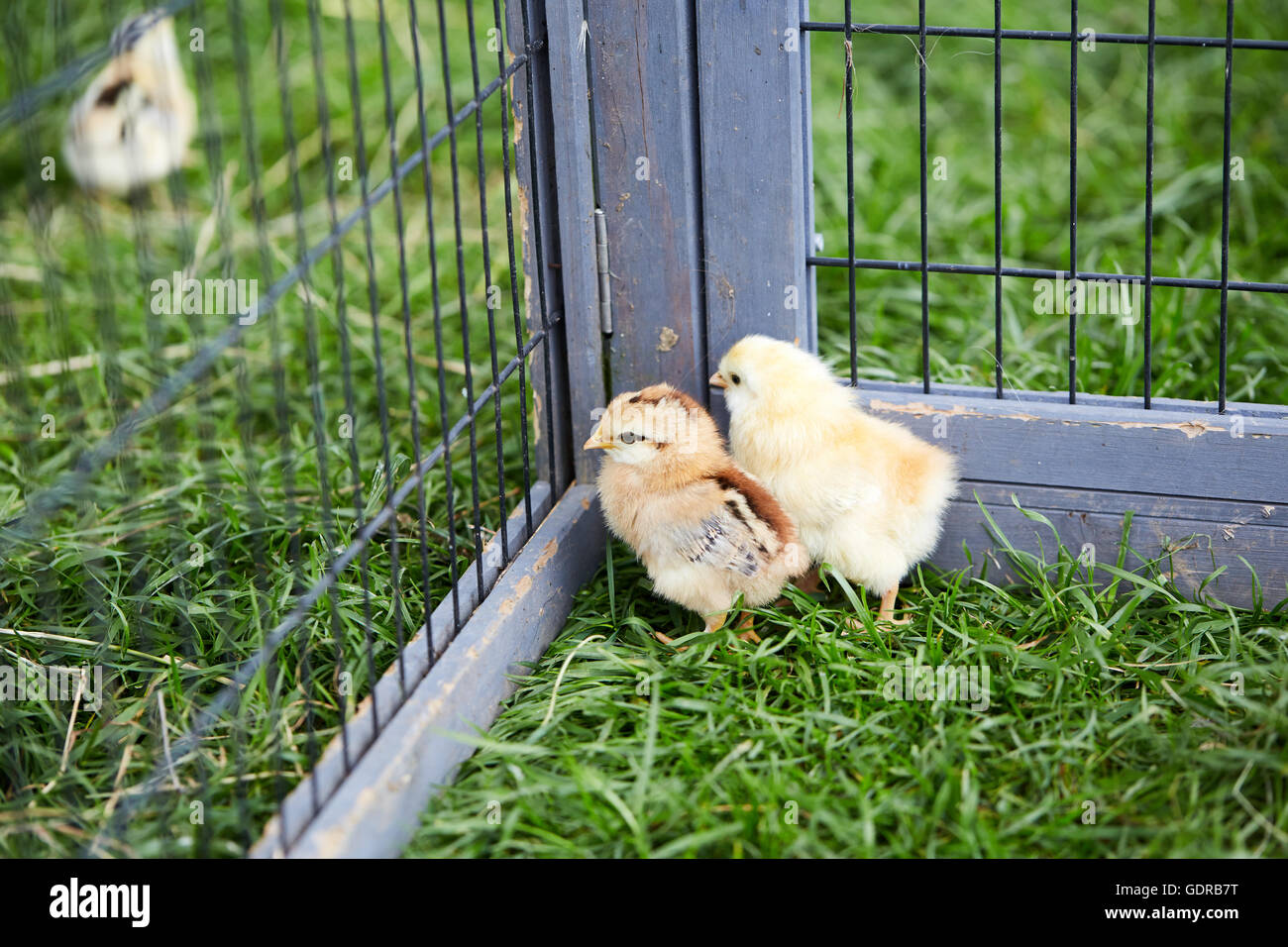 Three chicks breaking out off the cage in the garden - Stock Image