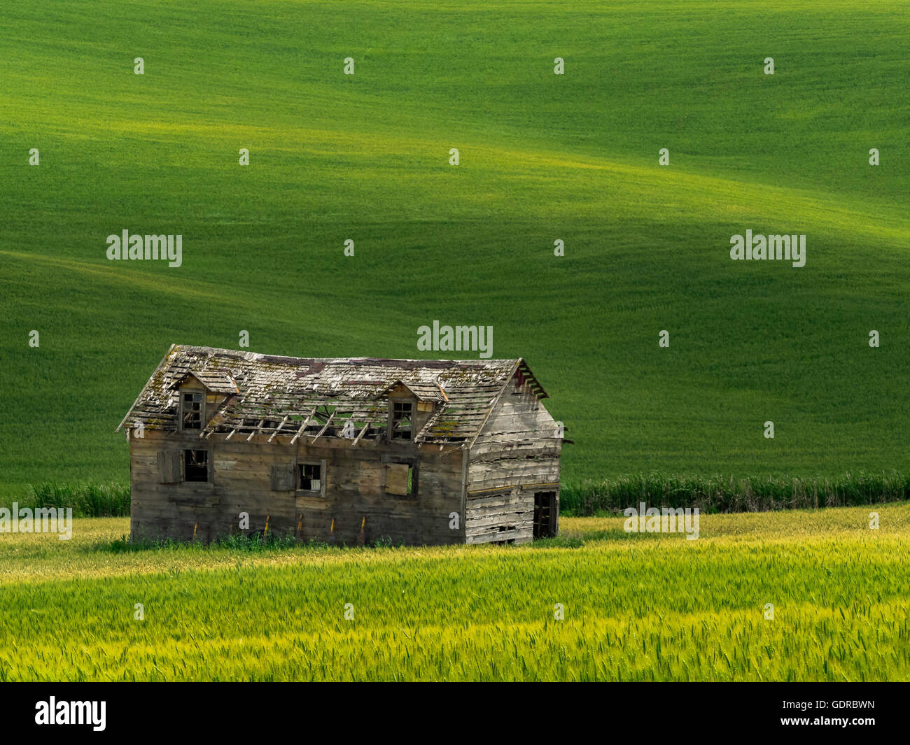 An abandon house sitting in a canola field. - Stock Image