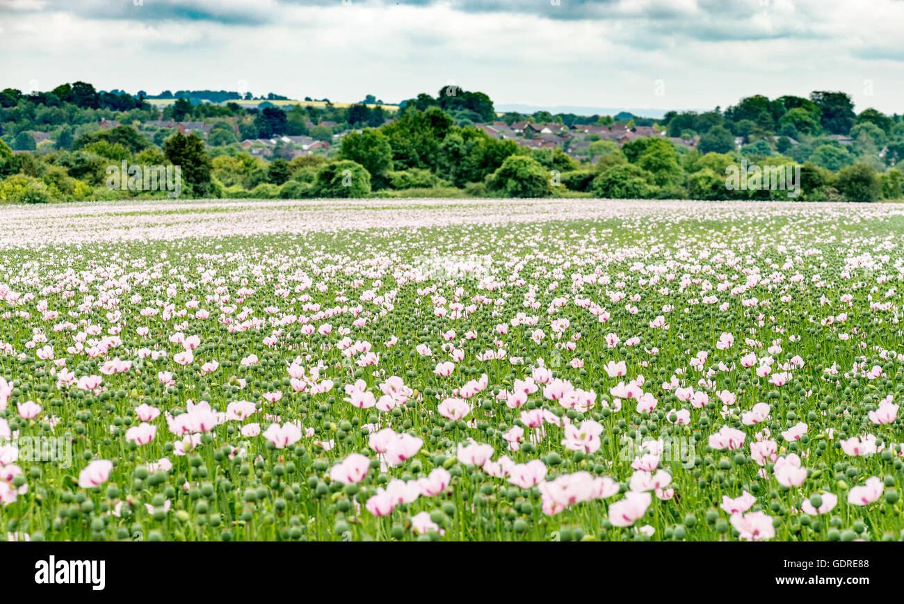 Drug Growing Poppy Fields Stock Photos Drug Growing Poppy Fields
