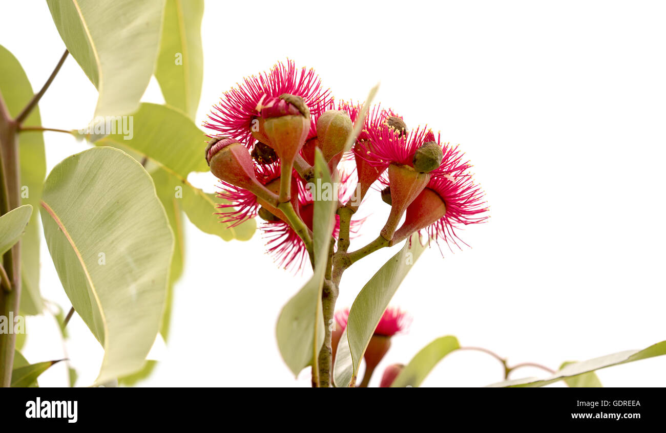 cluster of deep red flowers of Eucalyptus ptychocarpa an Australian red flowering bloodwood with large gum leaves - Stock Image