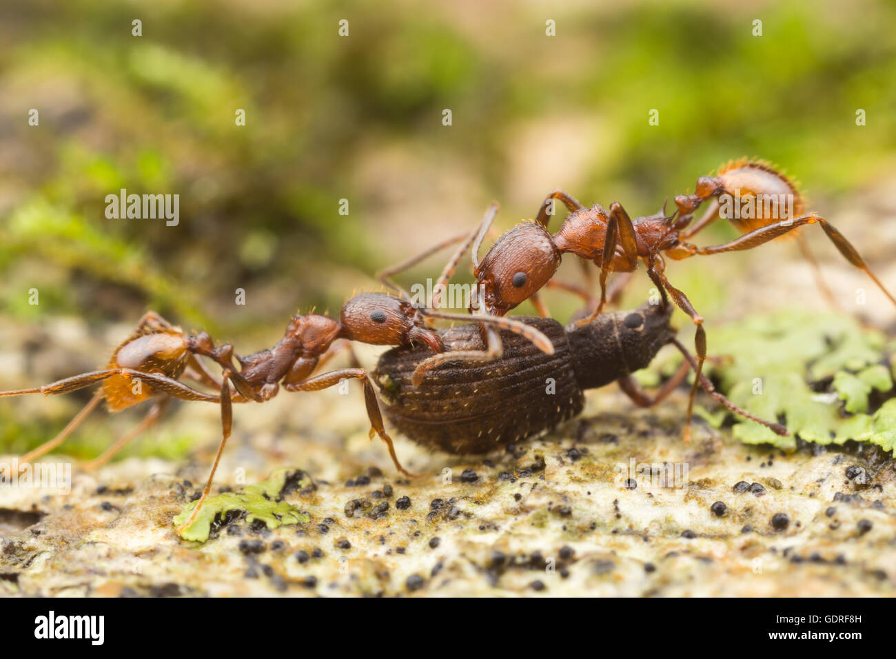 Spine-waisted Ant (Aphaenogaster fulva) workers carry scavenged food back to their nest . - Stock Image