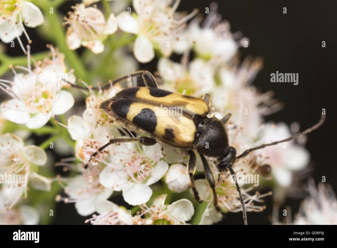 A Flower Longhorn beetle (Judolia cordifera) feeds on pollen. - Stock Image