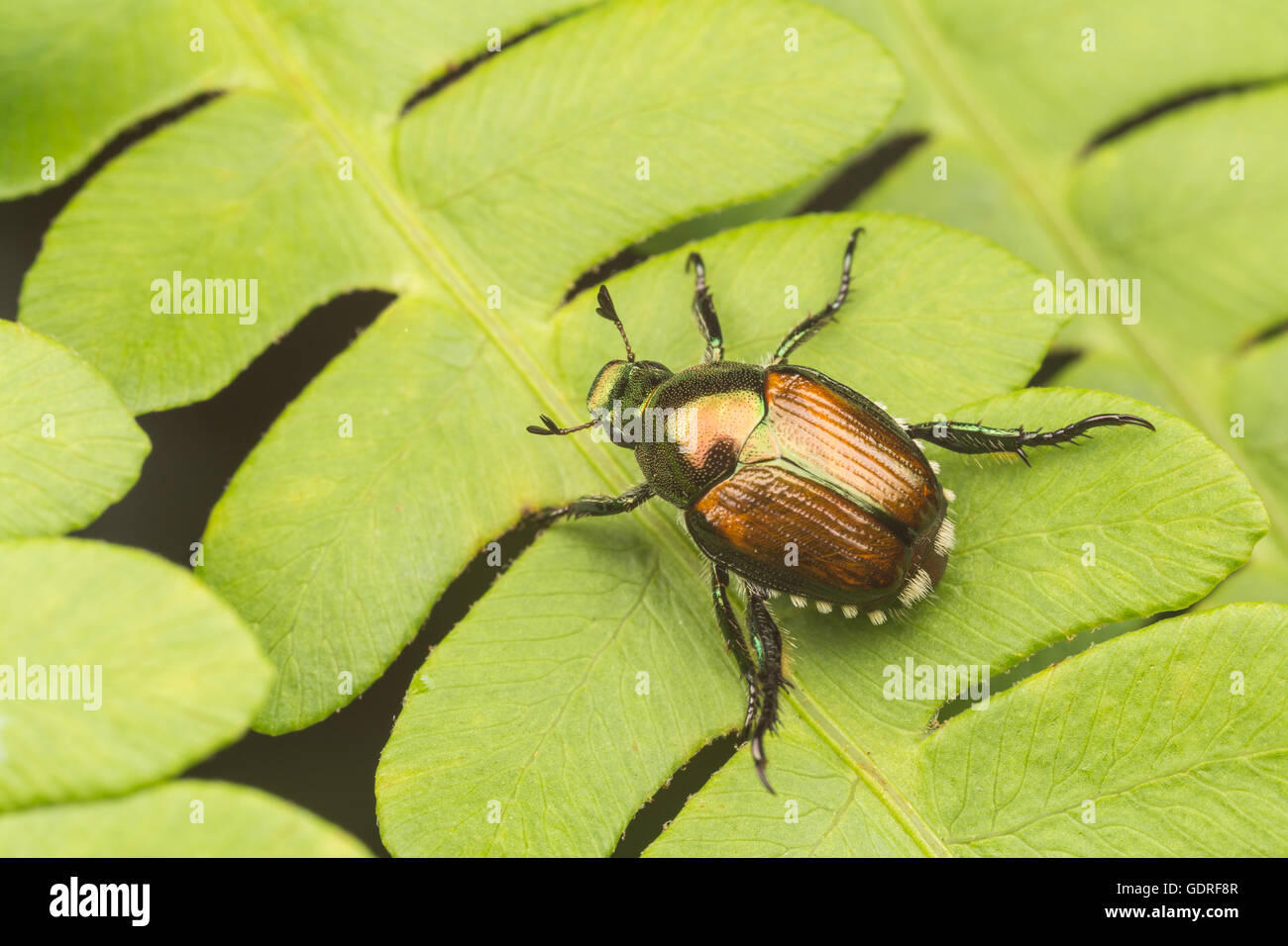 A Japanese Beetle (Popillia japonica) perches on a fern leaf. - Stock Image