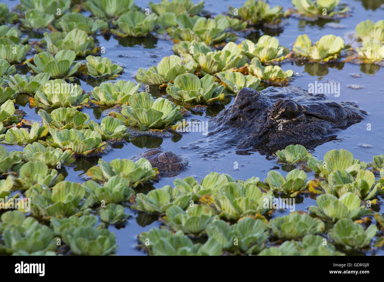 American Alligator (Alligator mississippiensis) submerged in pond and water lettuce - Stock Image