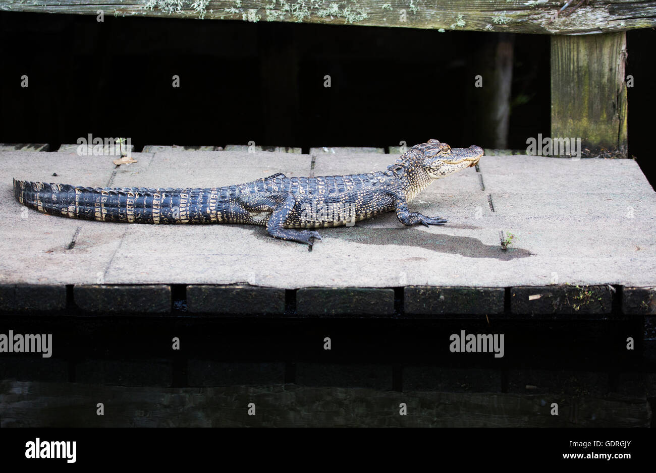American Alligator (Alligator mississippiensis) basking on dock of lakeshore cabin - Stock Image