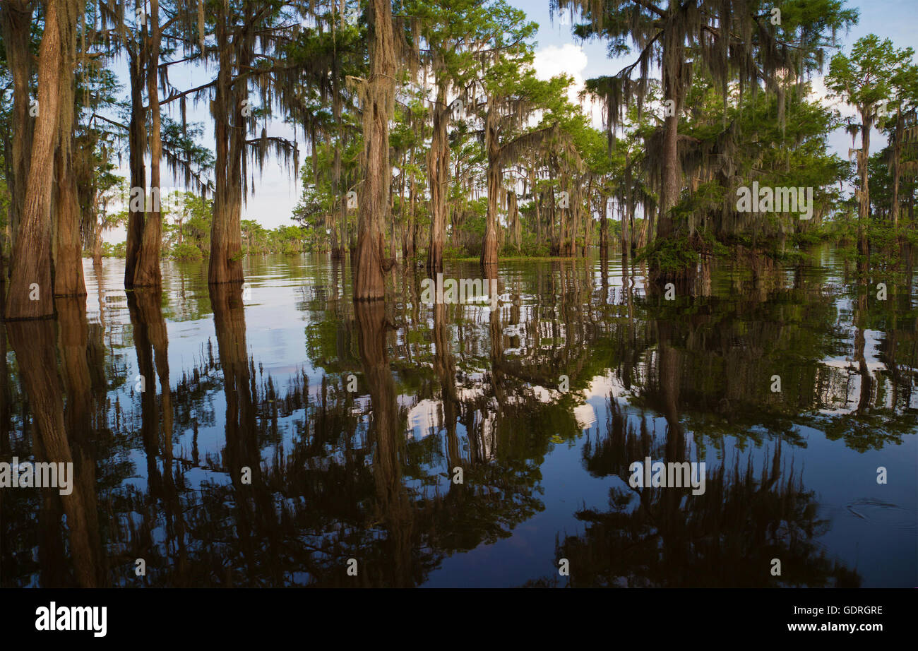 Bald cypress (Taxodium distichum) trees with Spanish moss in Atchafalaya Swamp, the largest wetland in the United - Stock Image
