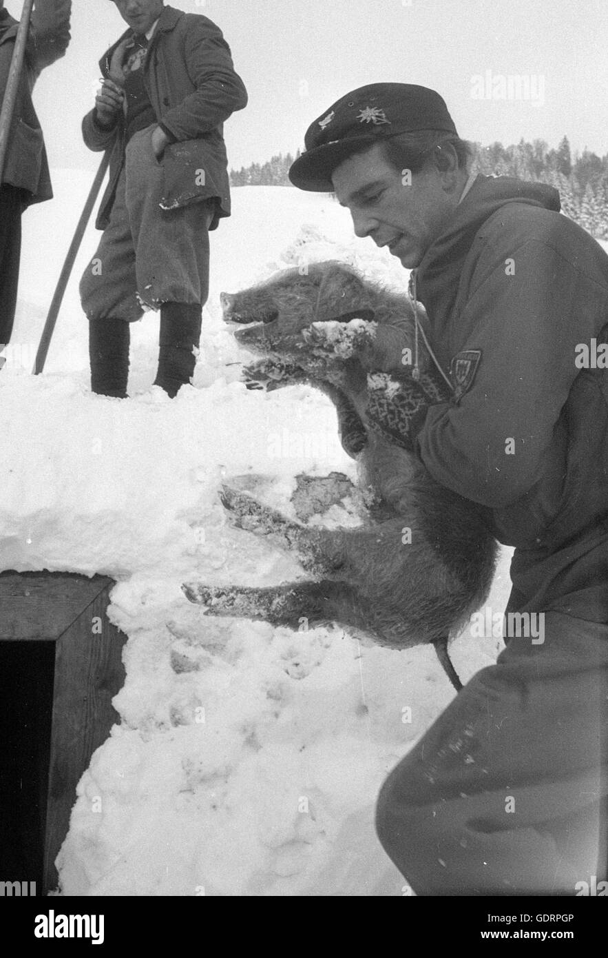 After an avalanche rescuers dig their way through the snow to a building, 1955 - Stock Image