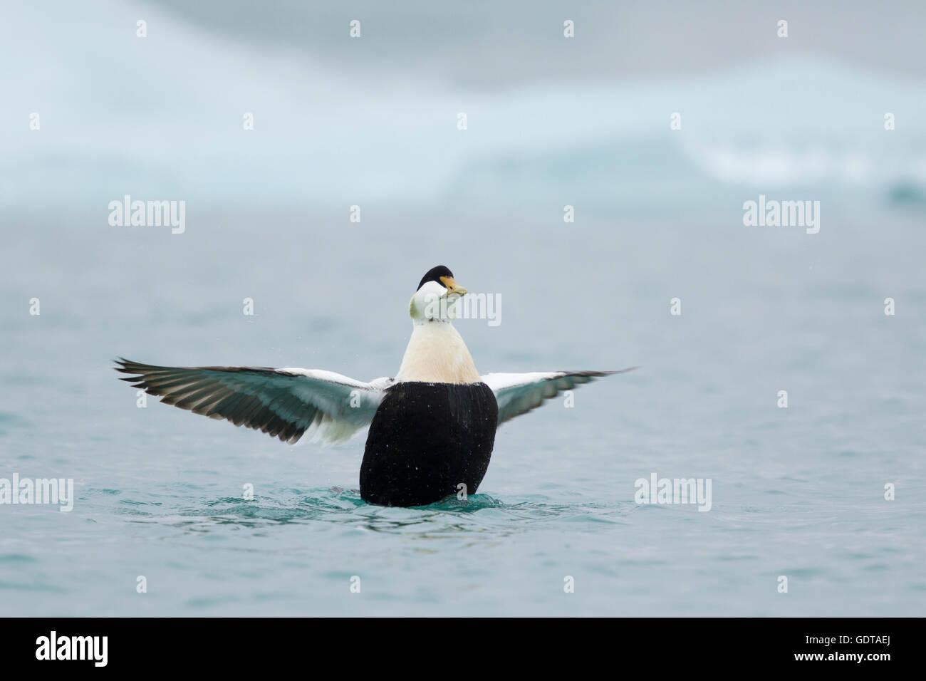 Common Eider - male flapping wings Somateria mollissima Jokulsarlon Lagoon Iceland BI028596 - Stock Image