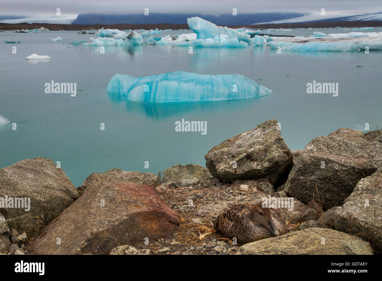 Common Eider – female on nest with icebergs Somateria mollissima Jokulsarlon Lagoon Iceland BI028606 - Stock Image