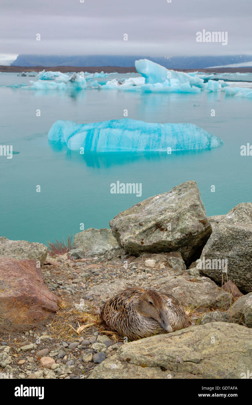Common Eider – female on nest with icebergs Somateria mollissima Jokulsarlon Lagoon Iceland BI028610 - Stock Image