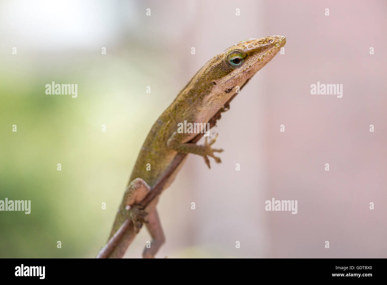 A green anole holds onto a twig looking down Stock Photo