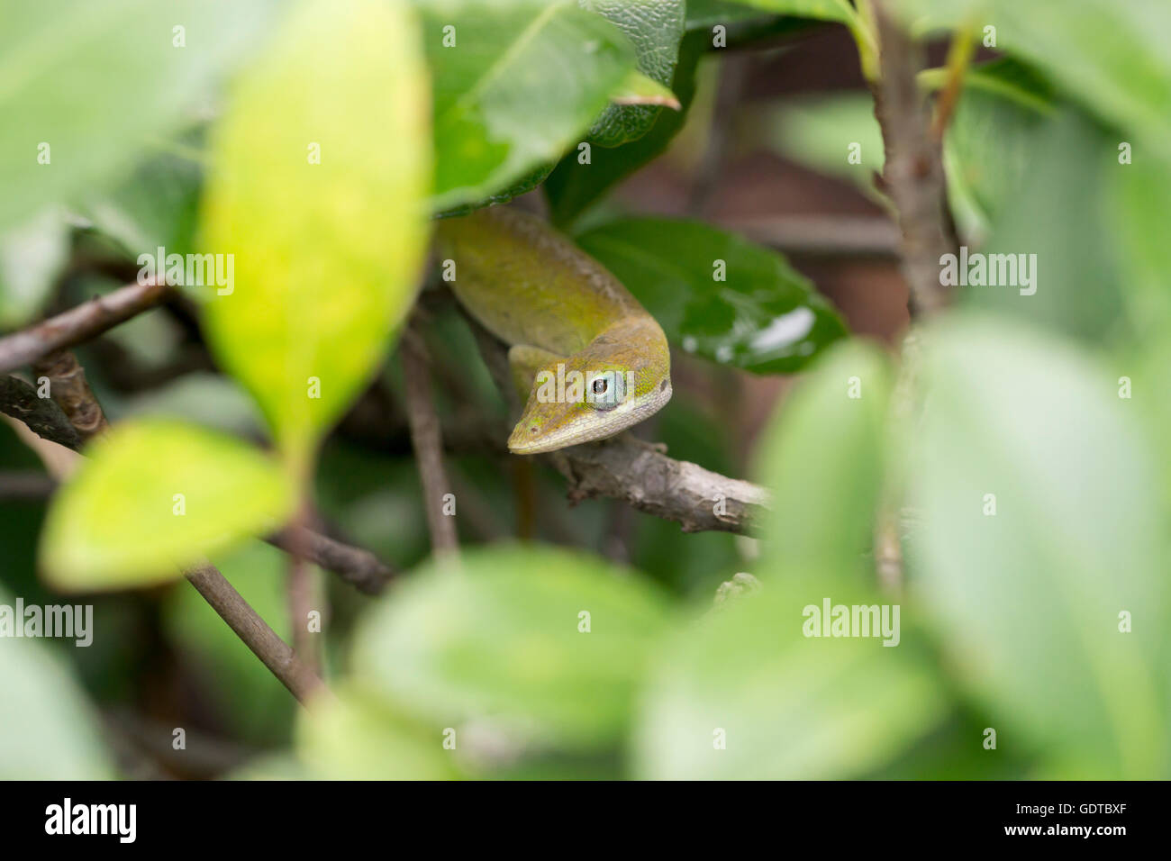A green anole hides amongst the bush leaves Stock Photo