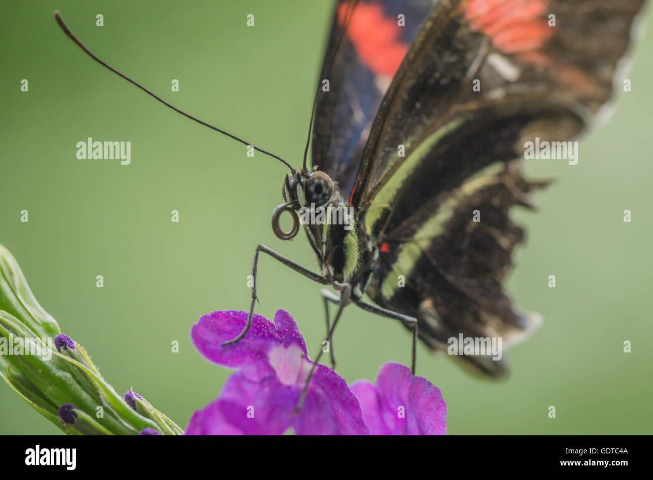 A butterfly shows its proboscis before feeding - Stock Image