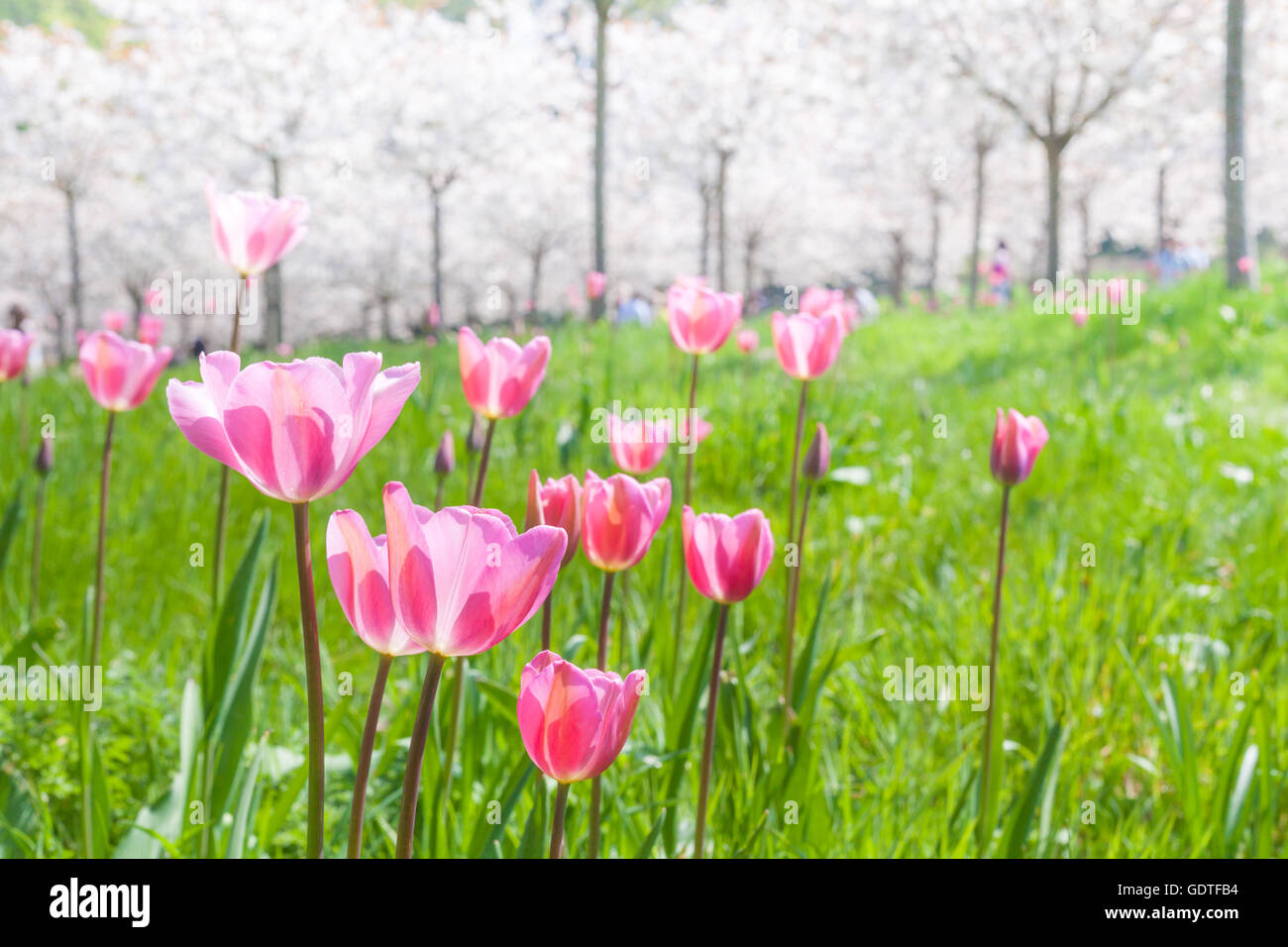 Bright pink tulips under white cherry blossom trees in an orchard at Alnwick Garden, Northumberland in the late - Stock Image