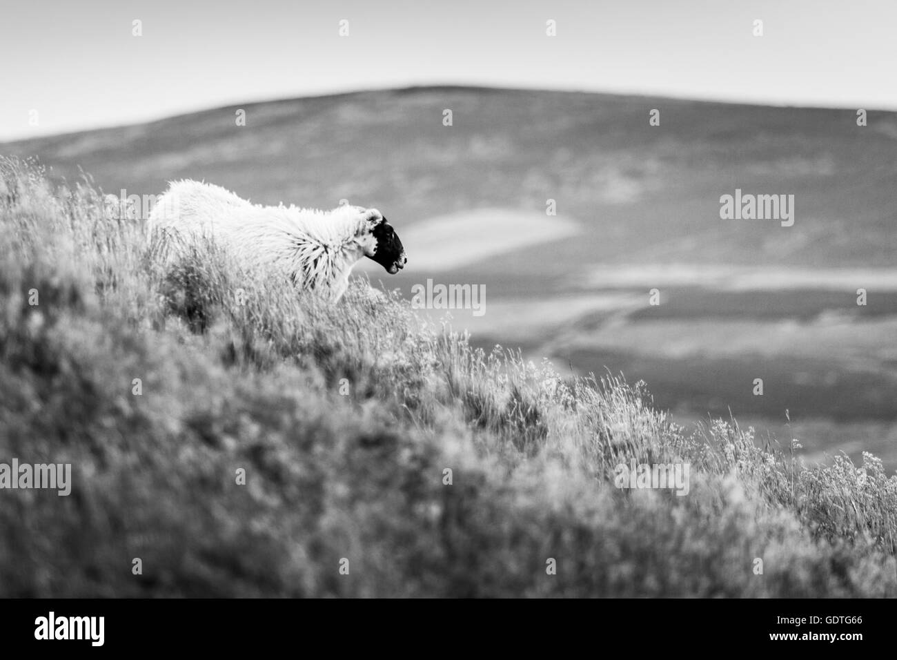 A Scottish Blackface sheep in the wild grasses of the Cheviot Hills in Northumberland, black and white livestock - Stock Image