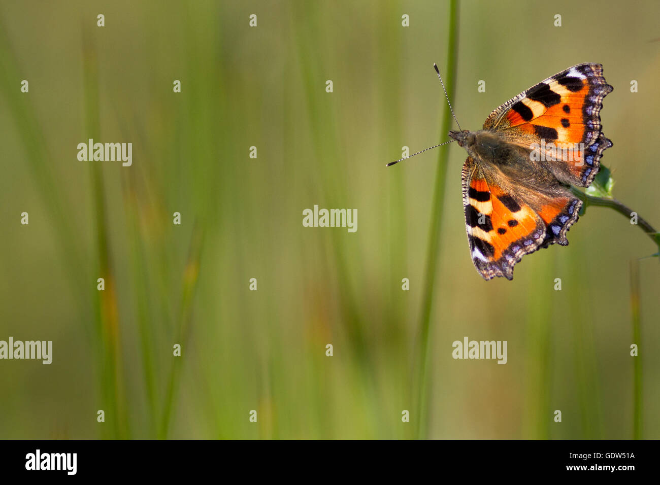 Small tortoiseshell butterfly, West Yorkshire, UK - Stock Image