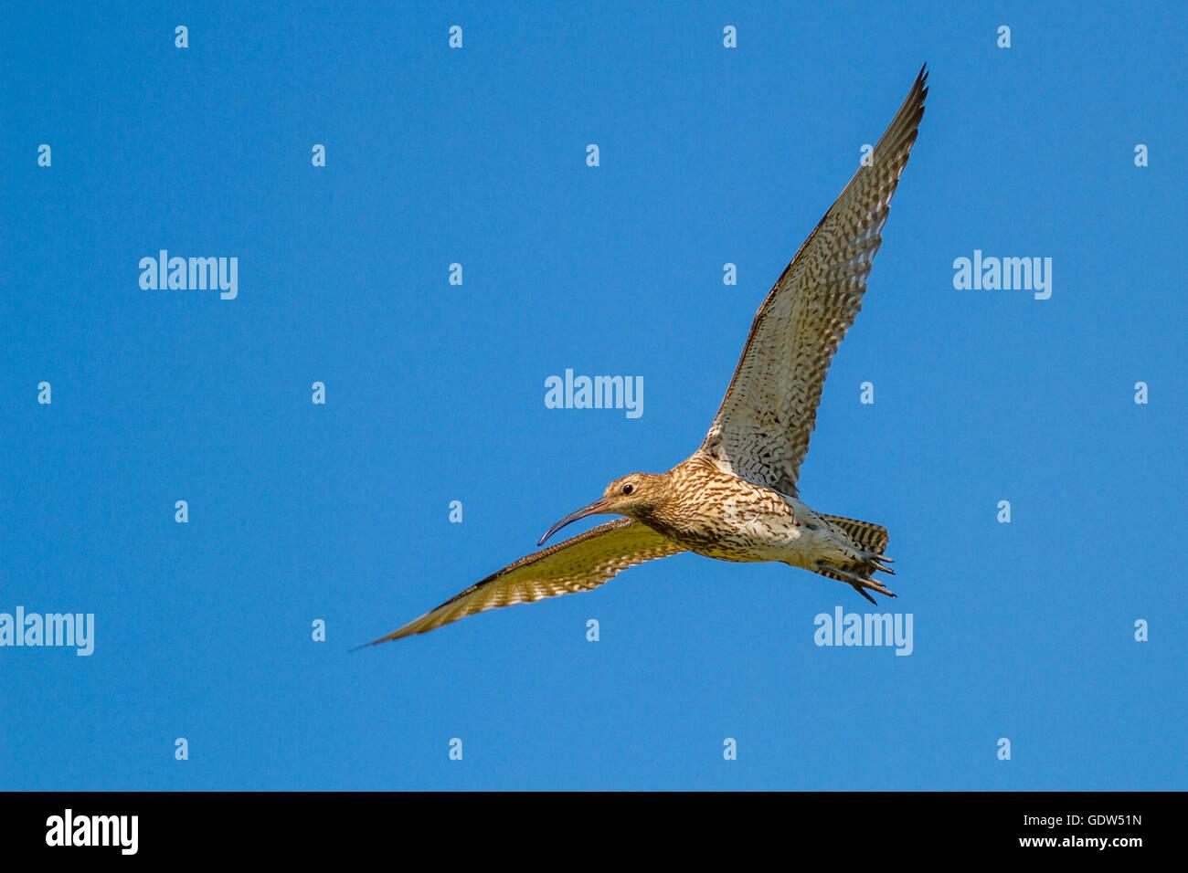 Curlew (numenius arquata) in flight, Yorkshire, UK Stock Photo