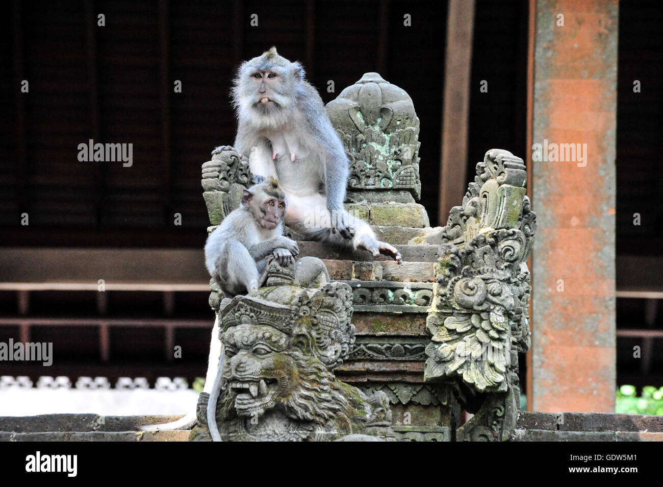 Two maqaque monkey sitting on the temple stairs and protecting it from visitors in Bali Sacred Monkey Forest - Stock Image