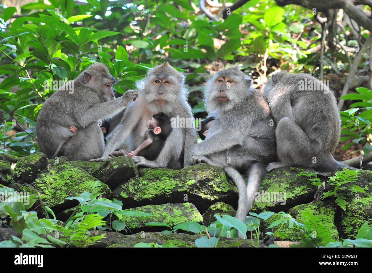 A monkey family with two babies in Bali Ubud Sacred Monkey Forest Temple - Stock Image