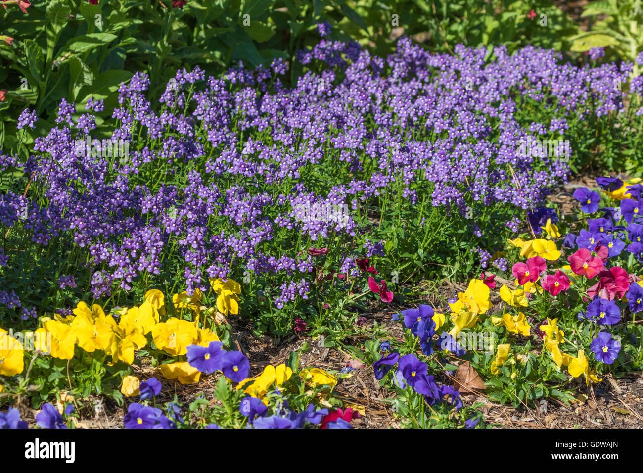Nemesia fruticans BLUEBIRD and Viola mix at Mercer Arboretum and Botanical Gardens - Stock Image