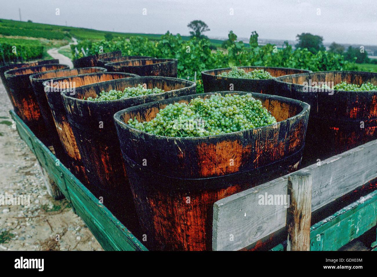 harvest in Alsace, France - Stock Image