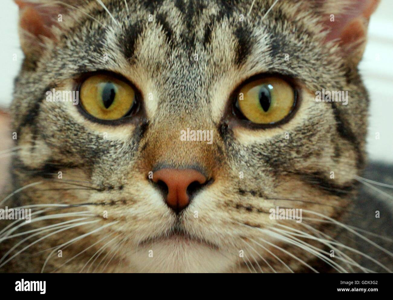 Close-up of a cat's face - Stock Image