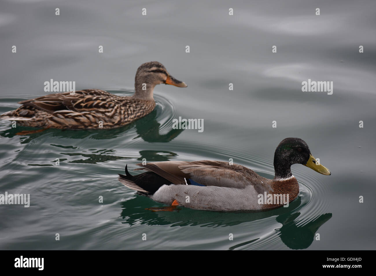 Female and male ducks on calm water - Stock Image