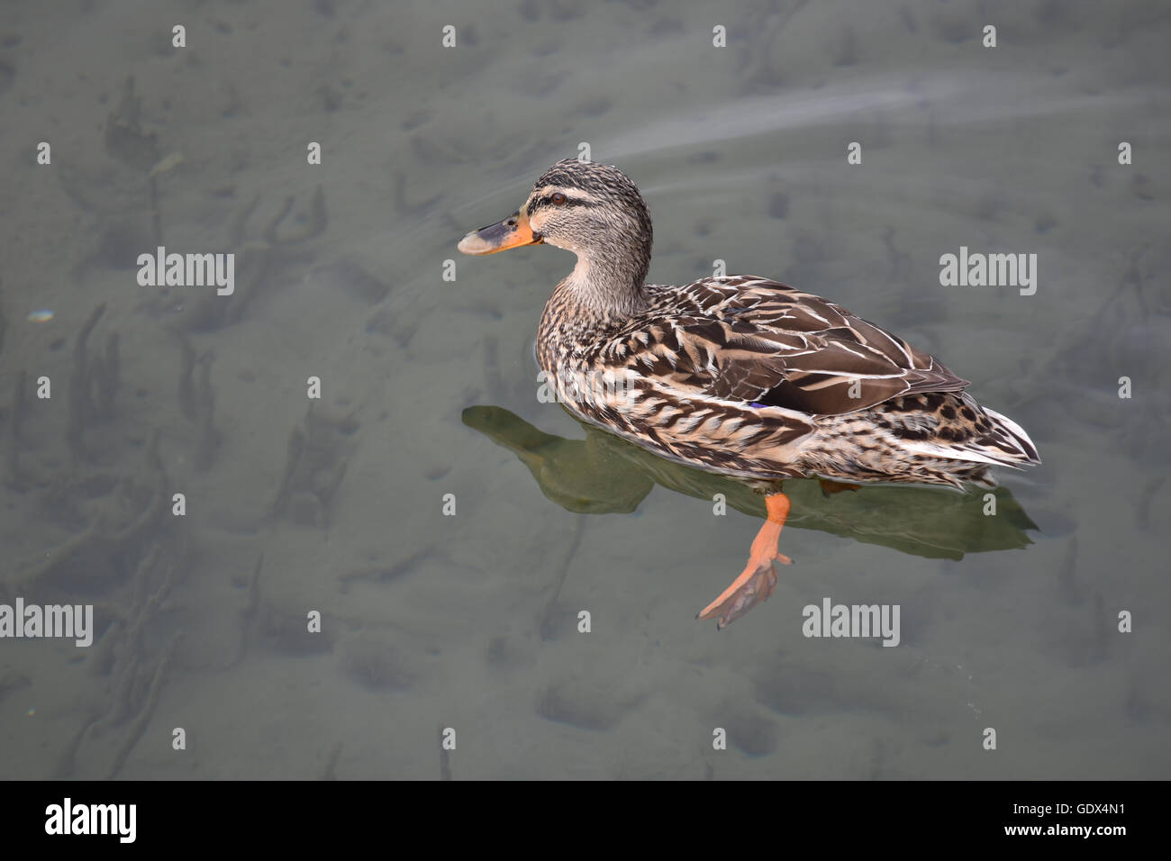 Female duck on calm water - Stock Image