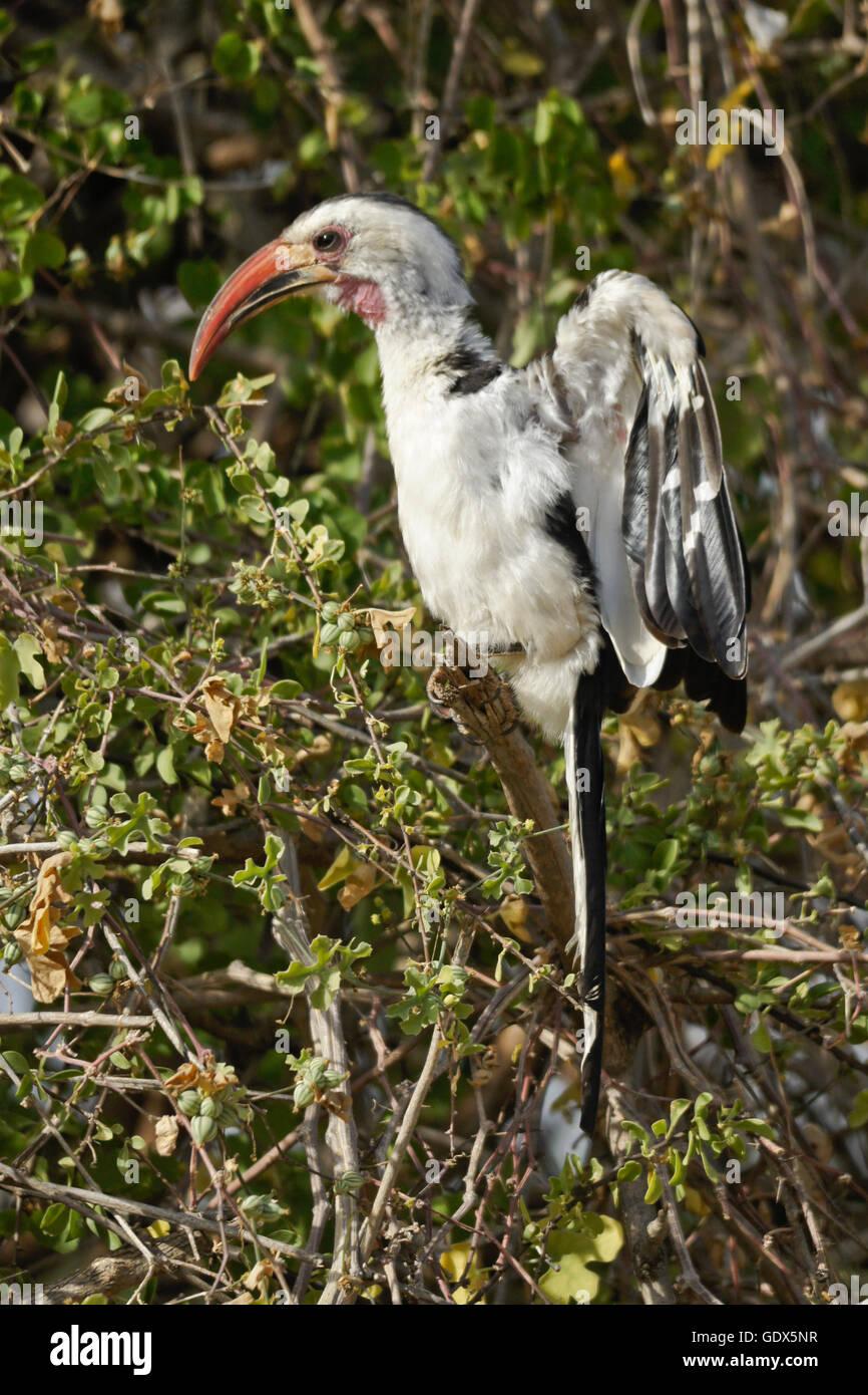 Red-billed hornbill displaying during breeding season, Samburu Game Reserve, Kenya - Stock Image