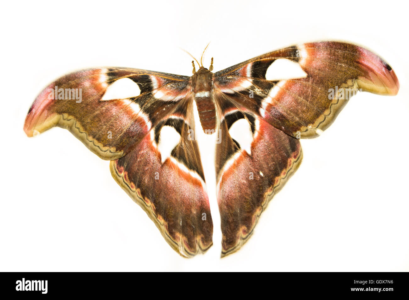 Attacus Atlas or Prince of Darkness on a white background. The biggest moth. - Stock Image