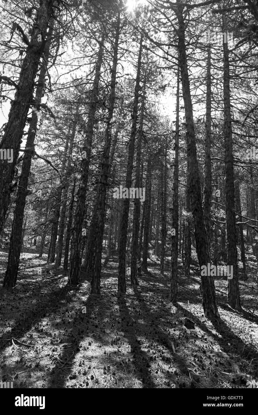 Black and white image of Pine trees in the forest during midday at Troodos mountains Cyprus. Stock Photo