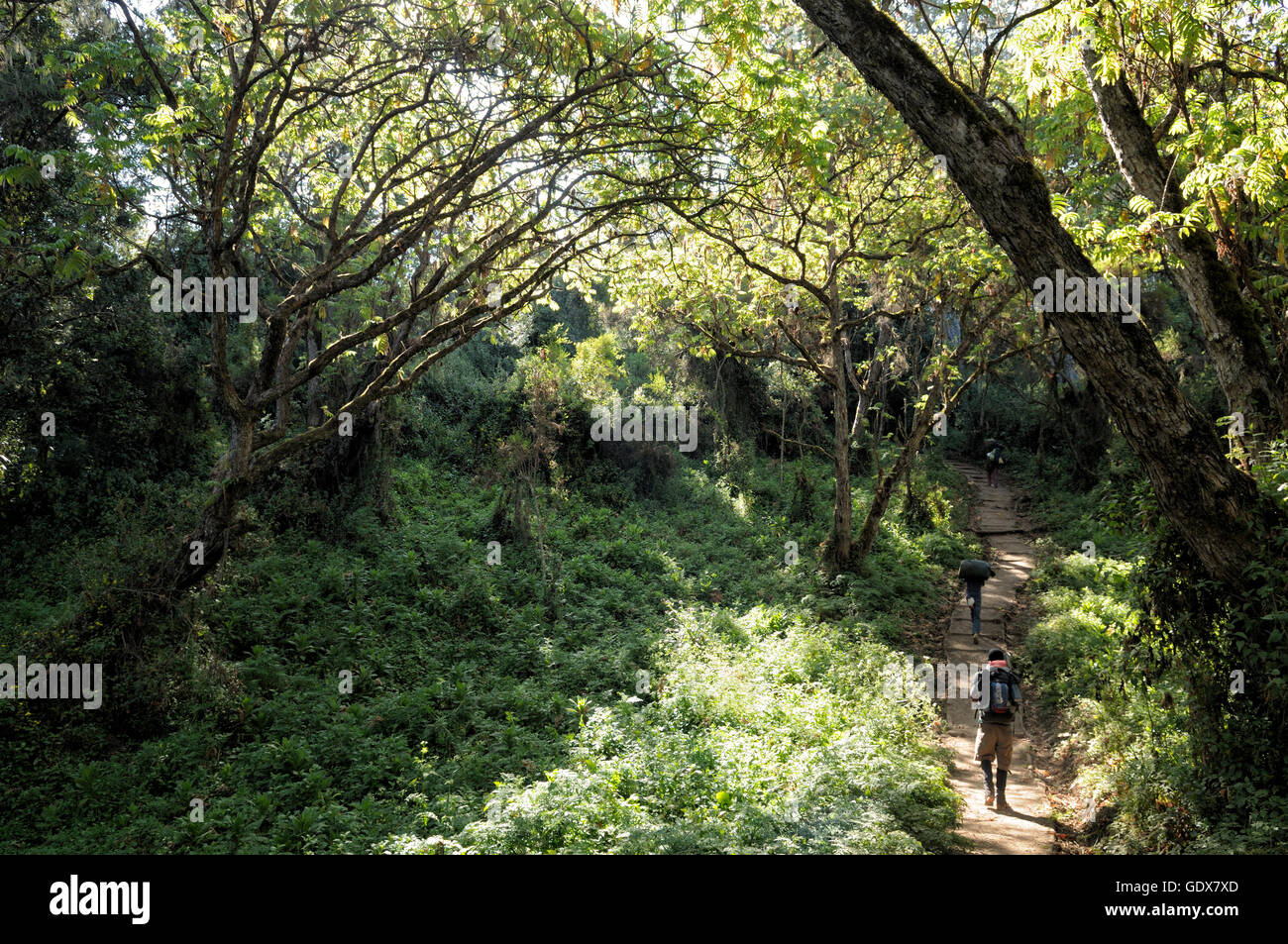 Lemosho trail in the montane rainforest, Mount Kilimanjaro National Park, Tanzania Stock Photo