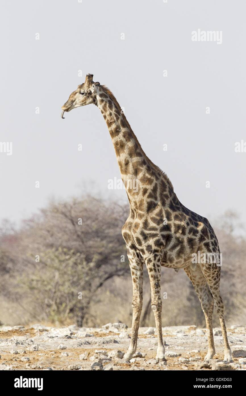 Angola Giraffe - Stock Image