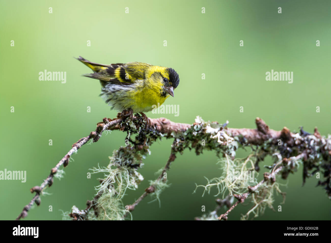 Siskin (cardeulis spinus) perched on a twig - Stock Image