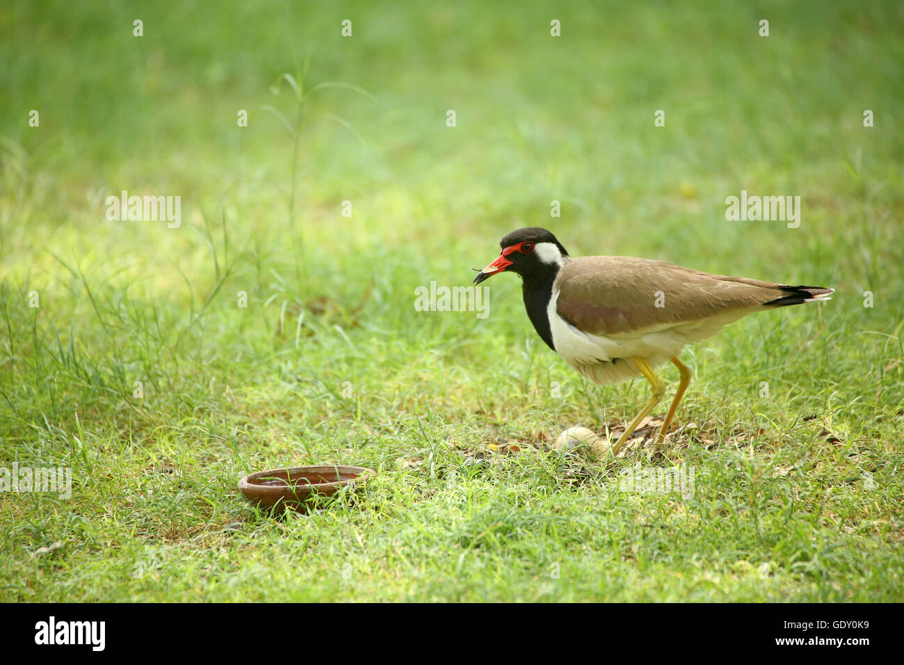 Red-wattled Lapwing and the eggs - Stock Image