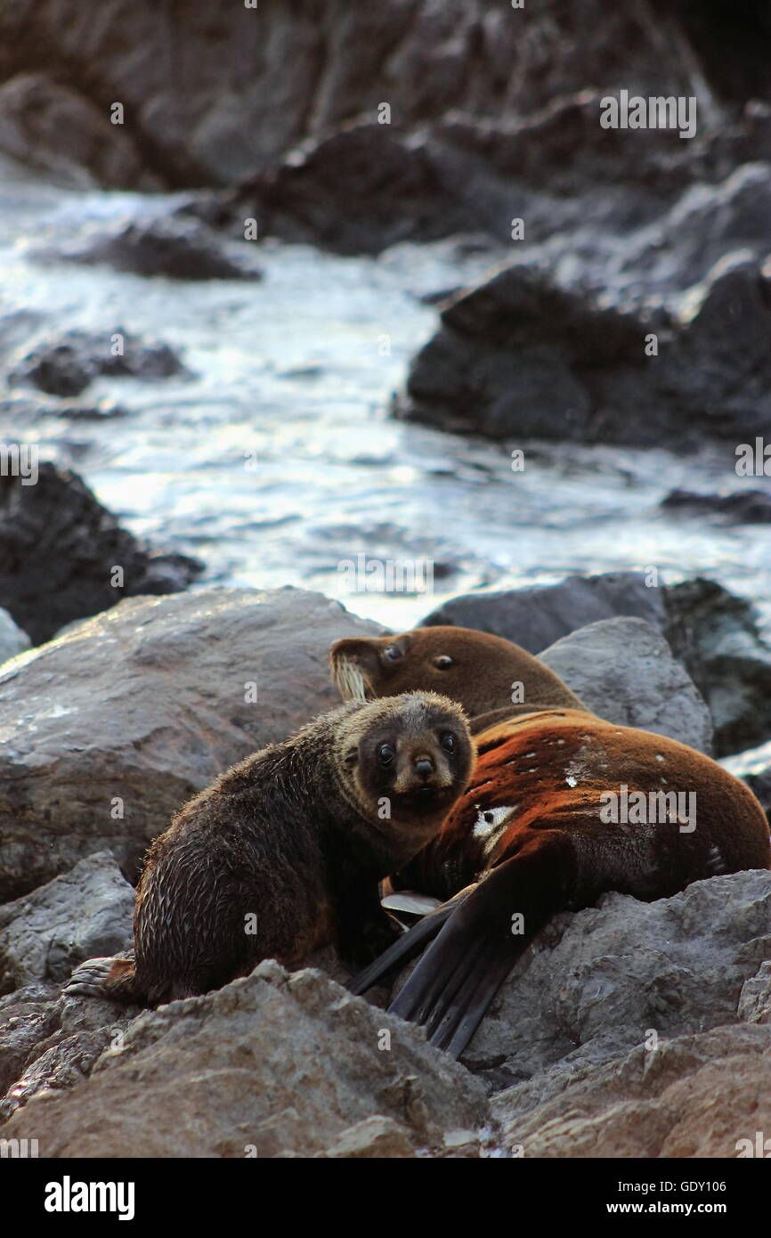 Fur Seal, Mother and Pup - Stock Image