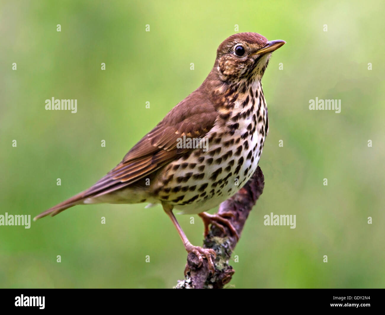 Song thrush perched on branch - Stock Image