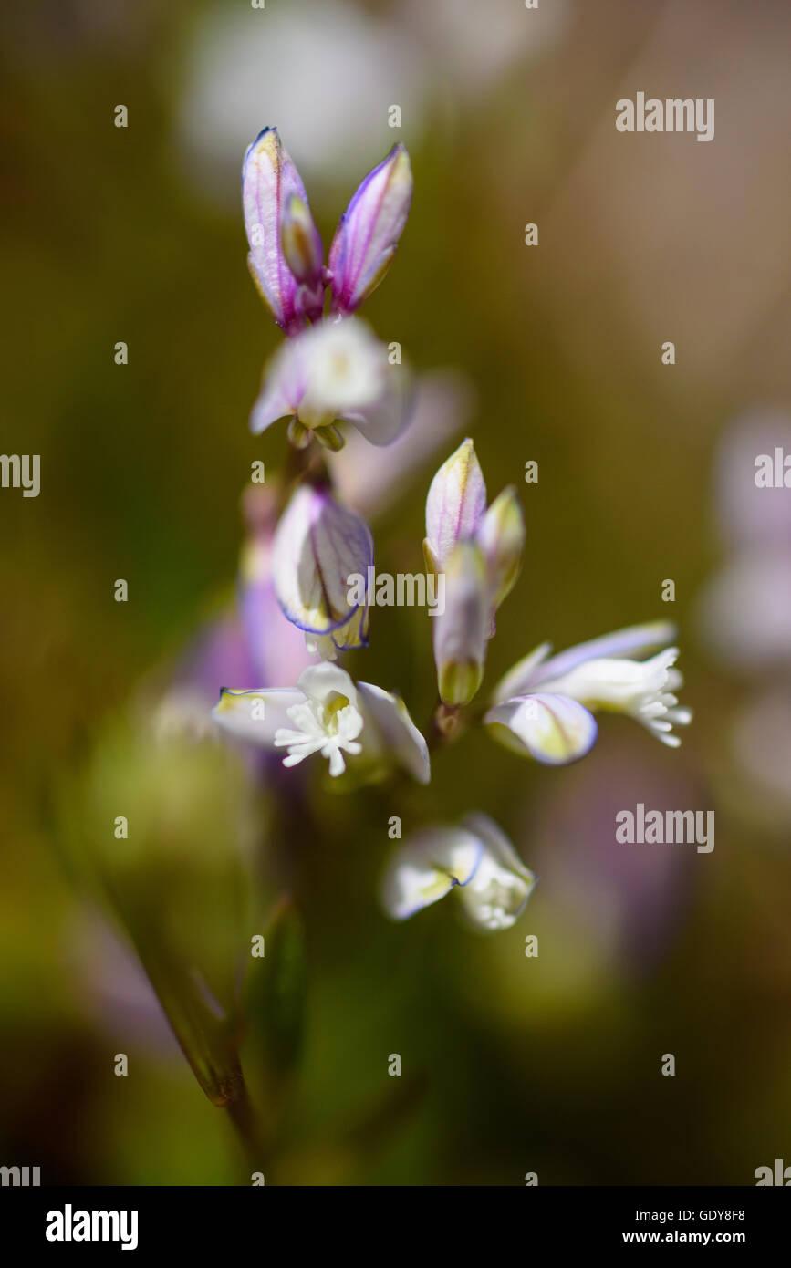 Heath Milkwort, Polygala serpyllifolia, wildflower, Fleet Valley, Dumfries & Galloway, Scotland - Stock Image