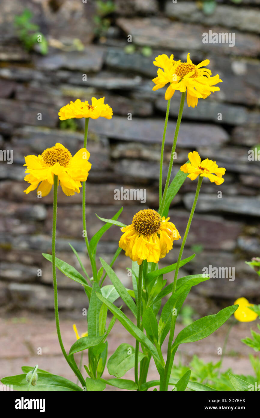 Yellow flowers of the summer flowering hardy perennial, Helenium 'Short and Sassy' - Stock Image