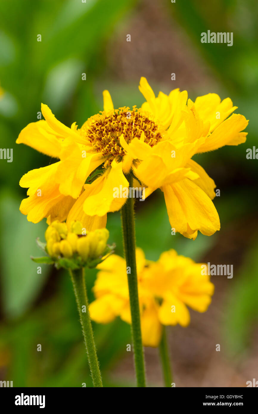 Yellow Flowers Of The Summer Flowering Hardy Perennial Helenium