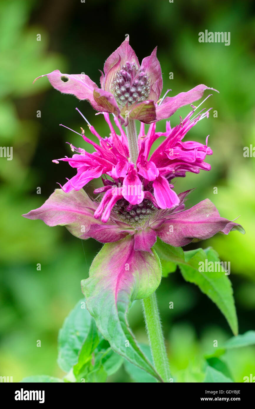 July flowers of the red pink bee balm, Monarda 'Loddon Crown' - Stock Image