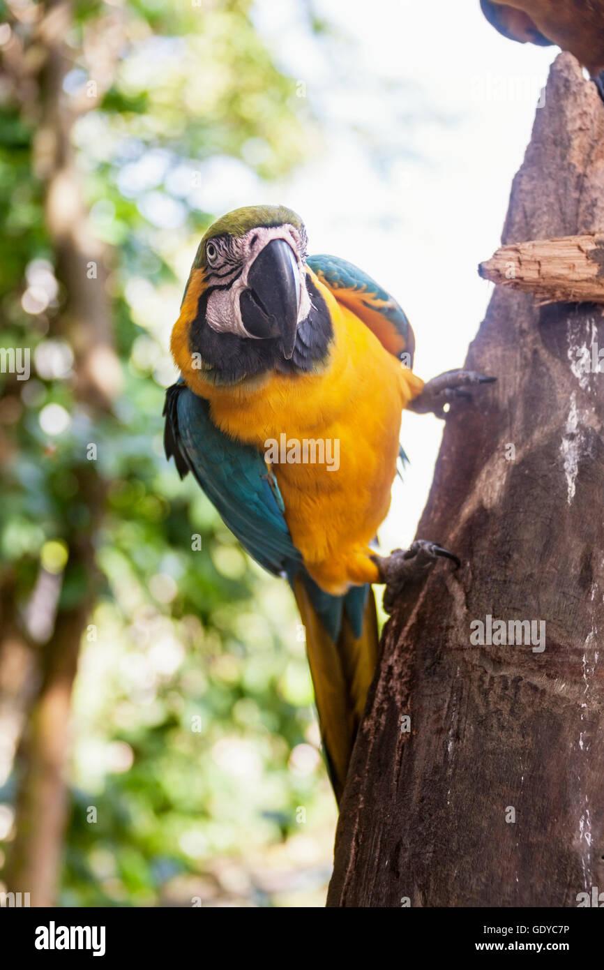 Gold and Blue Macaw (Ara ararauna) perching on tree trunk, Orinoco Delta, Venezuela - Stock Image