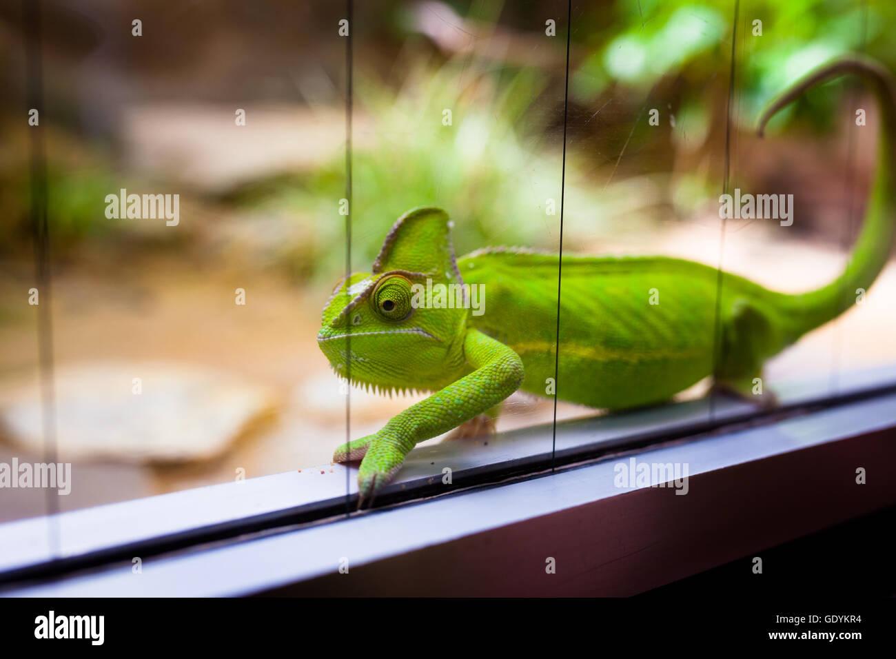 Chameleon In Glass Terrarium At Zoo Stock Photo 111860984 Alamy