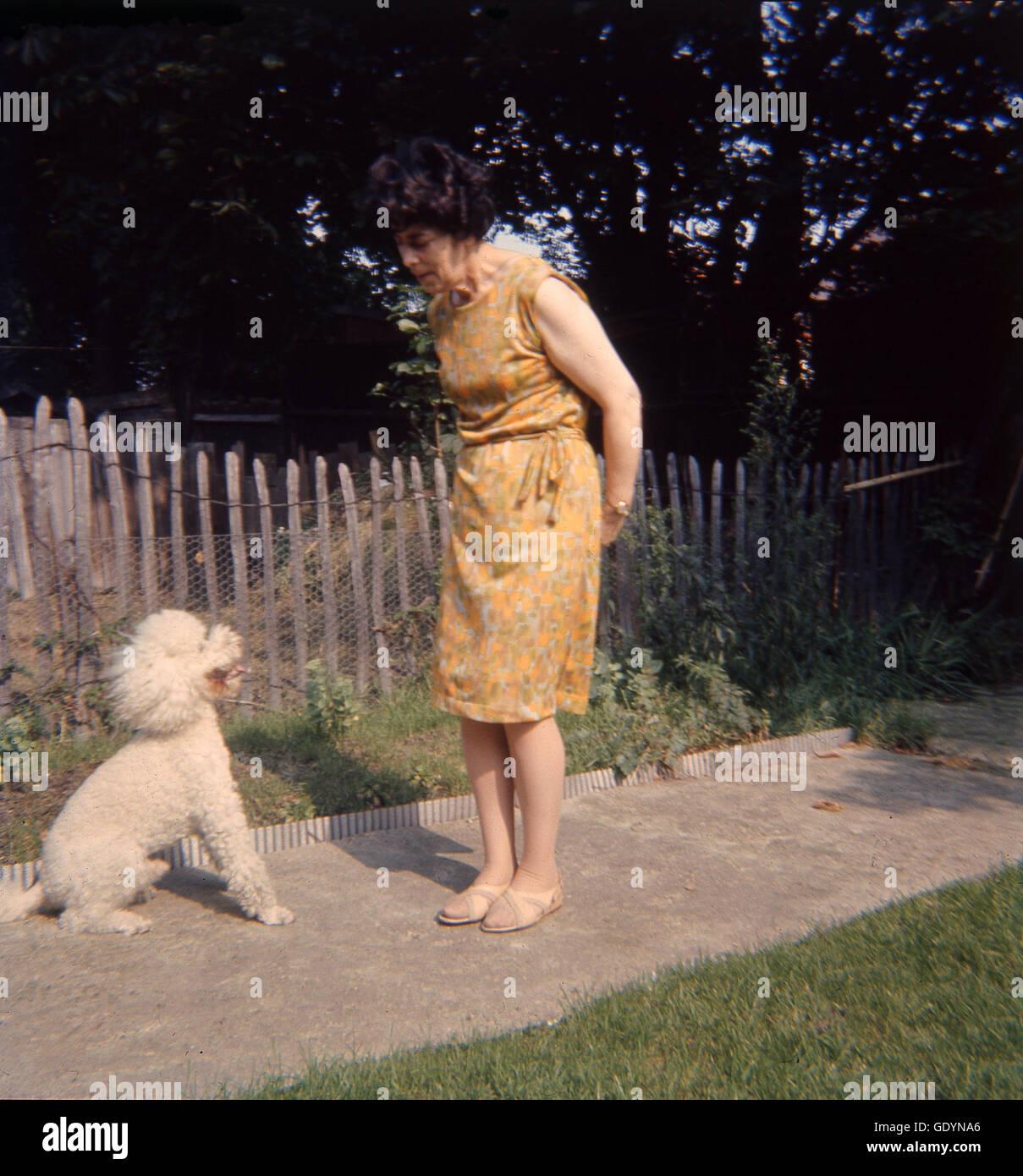1970s, elderly lady training her small cream coated poodle dog to sit. - Stock Image