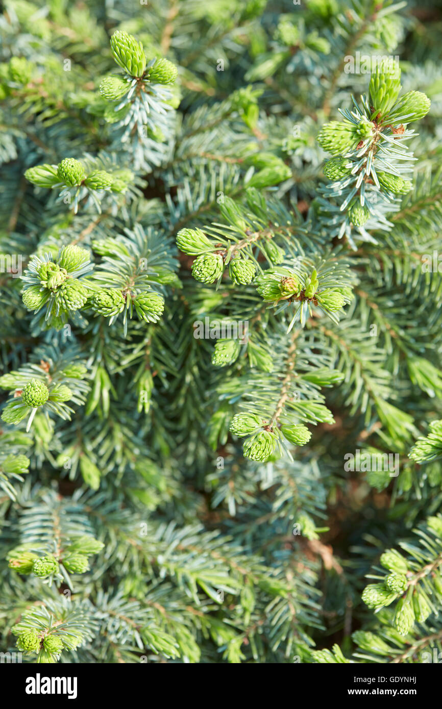 Picea abies nidiformis, Norway spurce background with buds - Stock Image