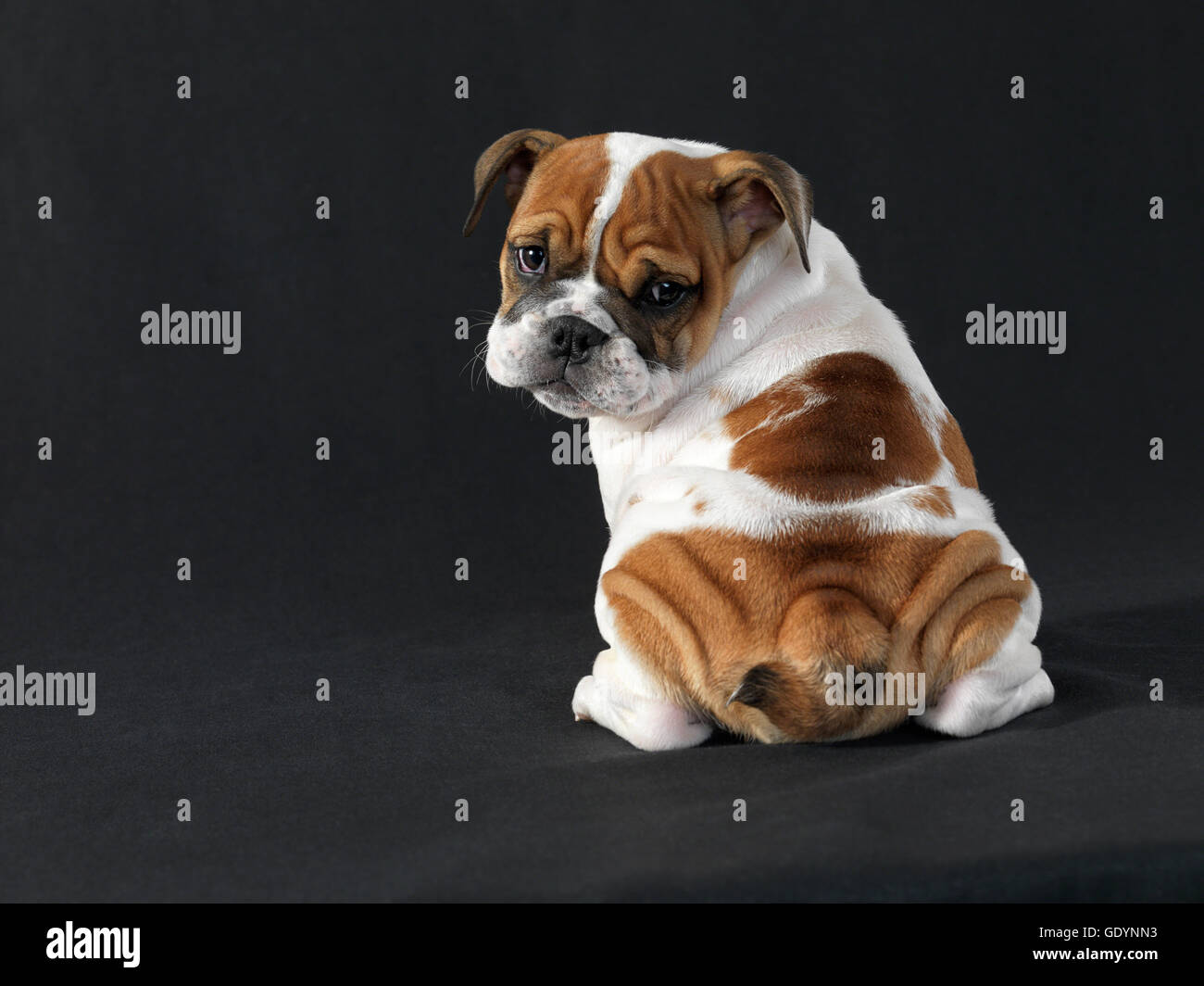 English Bulldog Puppy Looking Over Shoulder Against Black Background