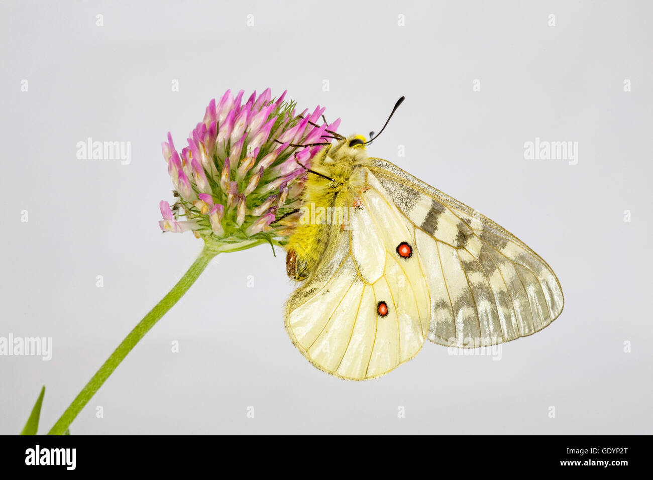 The American Apollo butterfly, Parnassius apollo, on a wildflower near Camp Sherman in the Oregon Cascade Mountains. - Stock Image